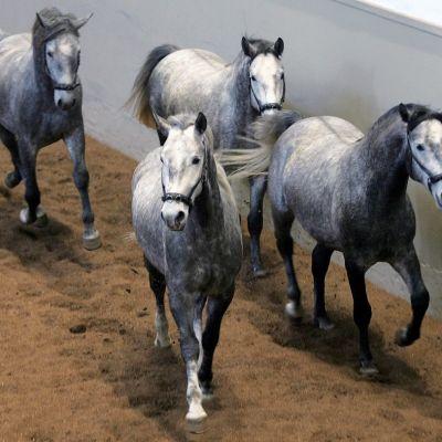 Neljä harmaanvalkeaa hevosta juoksee hallissa hiekalla.