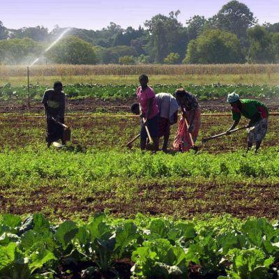 Zimbabwelaisia viljelijöitä Hararen lähistöllä.