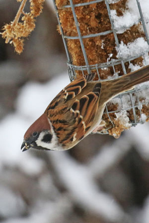 Pikkuvarpunen talvella