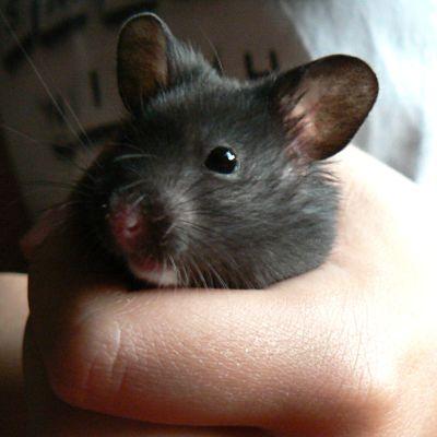 Hamsteri kädessä.
