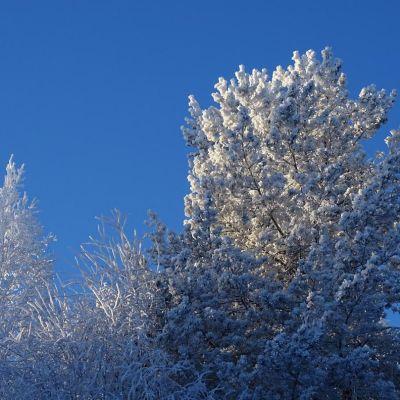 Lumiset puut.