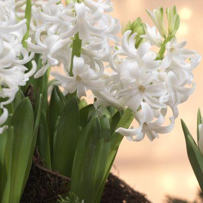 Suomalaiset ostavat yhä useammin valkoisia joulukukkia, muun muassa hyasintteja ja tulppaaneja.