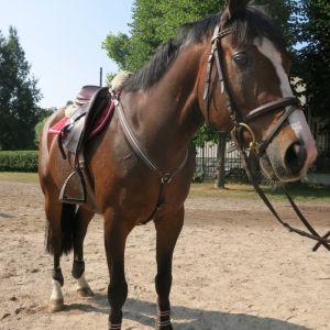 Ruskea hevonen