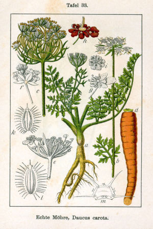 Kasvitaulu: porkkana