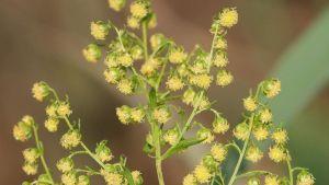 Söt malört (Artemisia annua) används i malariamedicin