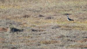 En våtmark, kanske en mosse eller myr. Till höger syns en fågel som går i gräset.