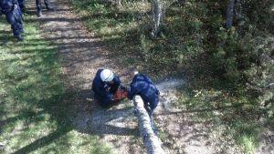 Polisen fäller träd vid Hanhikivi.