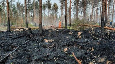 Man i nedbränd skog.