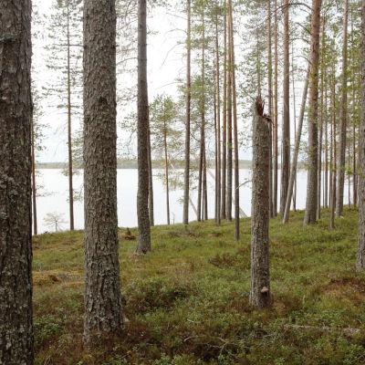 Niemenkangas Suomussalmen Vuokkijärvellä.