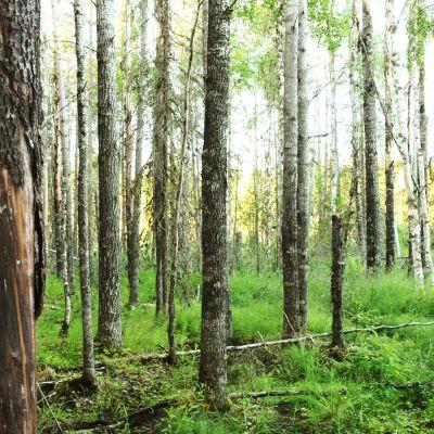 Metsää Puroniityn suojelualueella Vieremällä. Alue on testamentattu Luonnonperintösäätiölle.