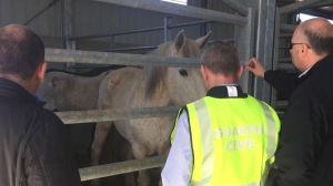 Man från Guardia Civil och Europol inspekterar en häst.