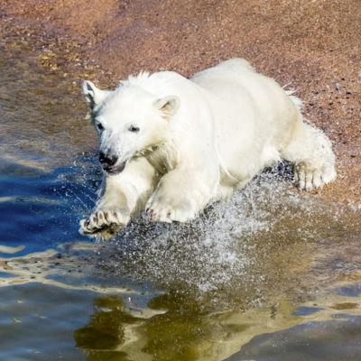 Isbjörnsungen på Ranua djurpark.