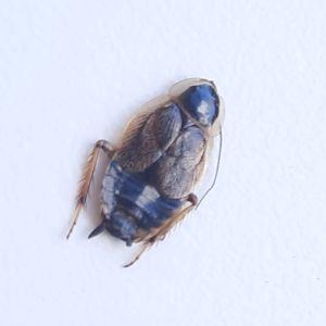 Två bilder på en liten död kackerlacka.