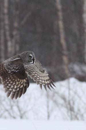 Lapinpöllö lentää lumisessa koivikkomaisemissa.