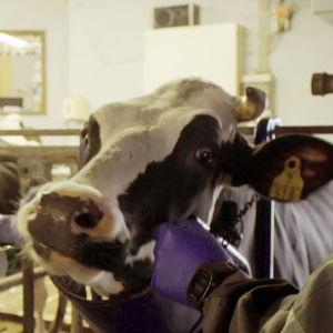 Veera Haukijärvi laittaa pötsimagneettia lehmälle