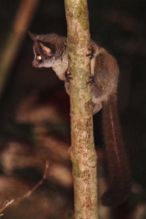En galago på en gren som man hittat i skogarna vid Taitabergen i Kenya.