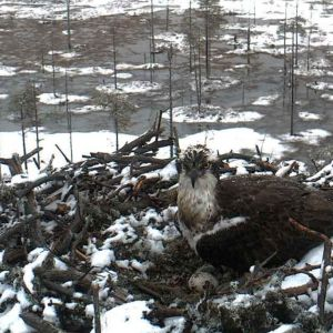 Miila sääksi parin päivän ikäisen munan kanssa Paltamon sääksikamerassa.