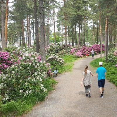 En kvinna och en man går längs en parkgång förbi höga blommande bestånd av vita och rosa rhododenron.