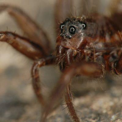 Juoksuhämähäkki lähikuvassa