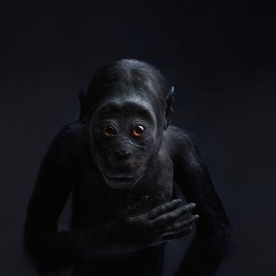 Täytetty, mustaihoinen apina katsoo kohti kuvaajaa.