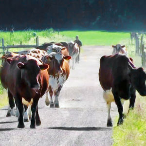 Lehmät kulkevat hiekkatietä pitkin kesälaitumelle.