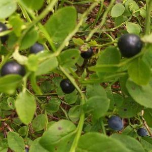 Siv undrar varför några blåbärsris har nästan svarta bär. Finns det olika arter av blåbär?