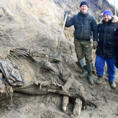 Taimyrin niemimaalta Pohjois-Siperiasta löytynyt villamammutti maassa.