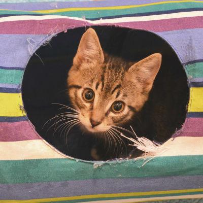 Kattunge tittar ut ur hål i katt-tunnel