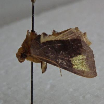 Metalliyökkösiin kuuluva Diachrysia chryson