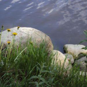 Stenar och maskrosor vid vattnet