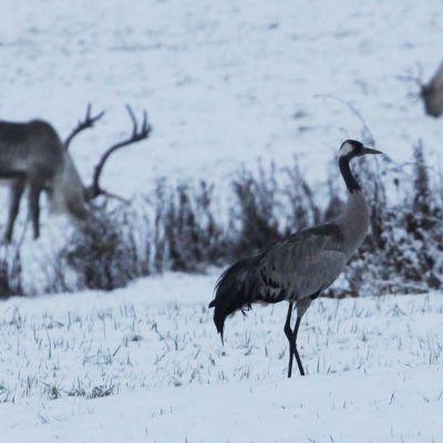 Kurki ja poroja lumisella pellolla