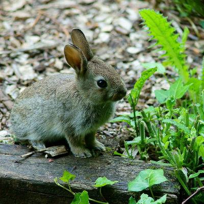 Allmän bild på kanin på Isle of Wight