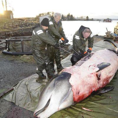 Bergenin alueella viikonloppuna lopetetun hanhennokkavalaan mahalaukku oli täynnä muoviroskaa.