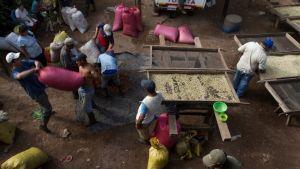Kaffeodlare i Nicaragua