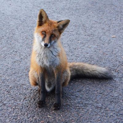 En räv sitter på asfalt och tittar in i kameran med huvudet på sned.