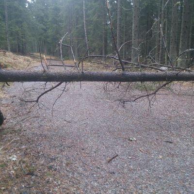 Puita tiellä Salpausselän ulkoilumaastossa.
