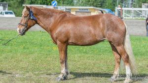 Finnhästen Mambu bor i Broby stall i Snappertuna