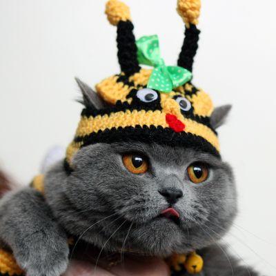 Brittiläistä lyhytkarvarotua edustava kissa neulepipo päässään kissanäyttelyssä Kirgisian Bishkekissä 23. maaliskuuta 2014.
