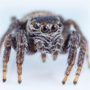 sirppihyppyhämähäkki
