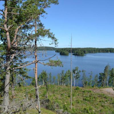 Utsikt över en sjö uppifrån en tallbevuxen backe.