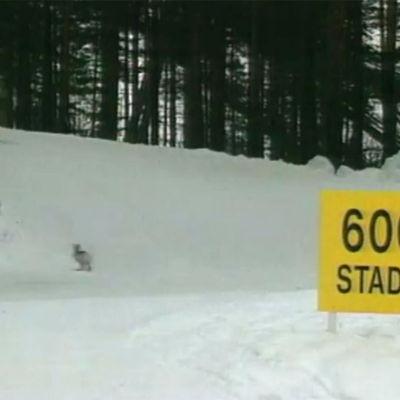 Jänis juoksee hiihtoladulla