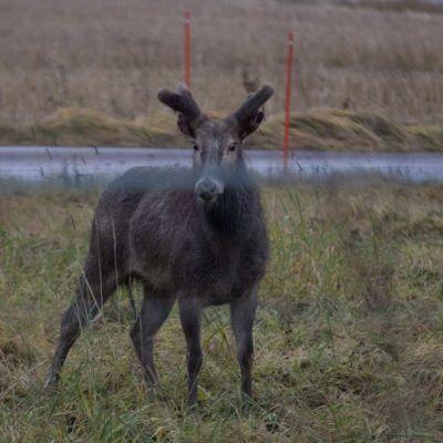 Zoolandiasta karannut davidinhirvi kuvattiin sunnuntaina Liedossa Rauhankylän liittymän lähellä.