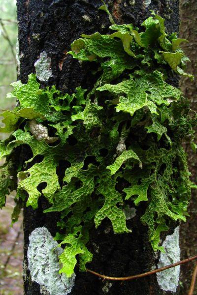 Harvinainen raidankeuhkojäkälä, lehtimäinen jäkäläkasvi, puun rungolla