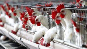 Tuhansia kanoja kanatehtaassa.