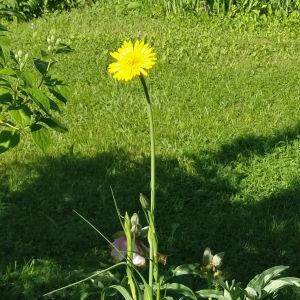 Två bilder på gul blomma med lång grön stam.
