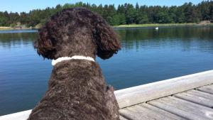 Hund på bryggan