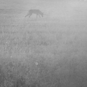 Varg i byn Samuelstorp på Åland fångad på bild i en viltkamera.