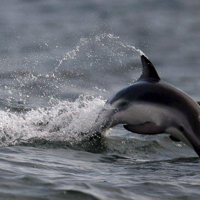 En delfin hoppar upp mellan vågorna