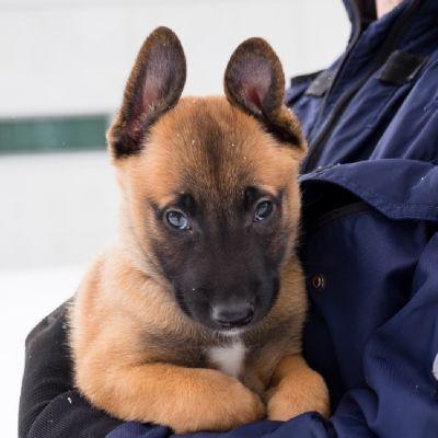 Polisen i Östra Finland har fått förstärkning av en ny polishund.