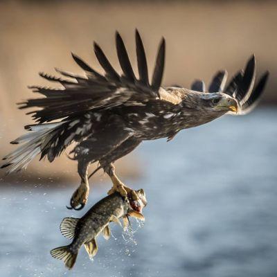 Merikotka nappasi kala